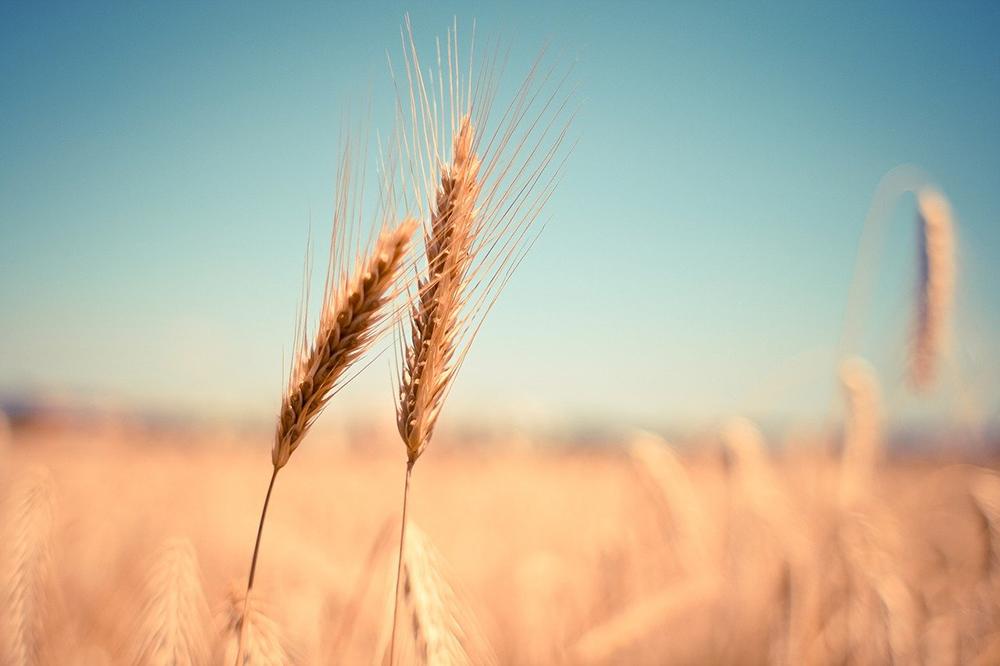 serenità campo di grano